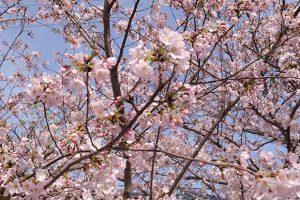 淡路島の桜の名所巡っちゃいました!地元で人気のお花見スポットから知る人ぞ知る穴場まで!